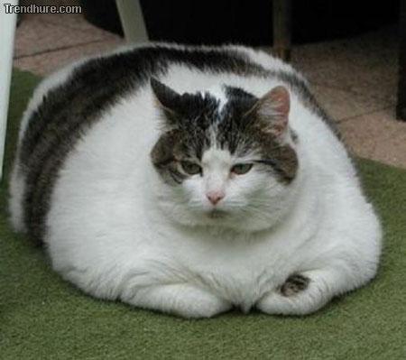 fat pet